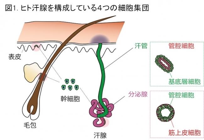 マンダム、ヒトの汗腺幹細胞を発見し、生体外での汗腺様構造体の再生に成功~次世代制汗剤の開発を目指して~  ヒトの発汗機能の再生に関する研究報告